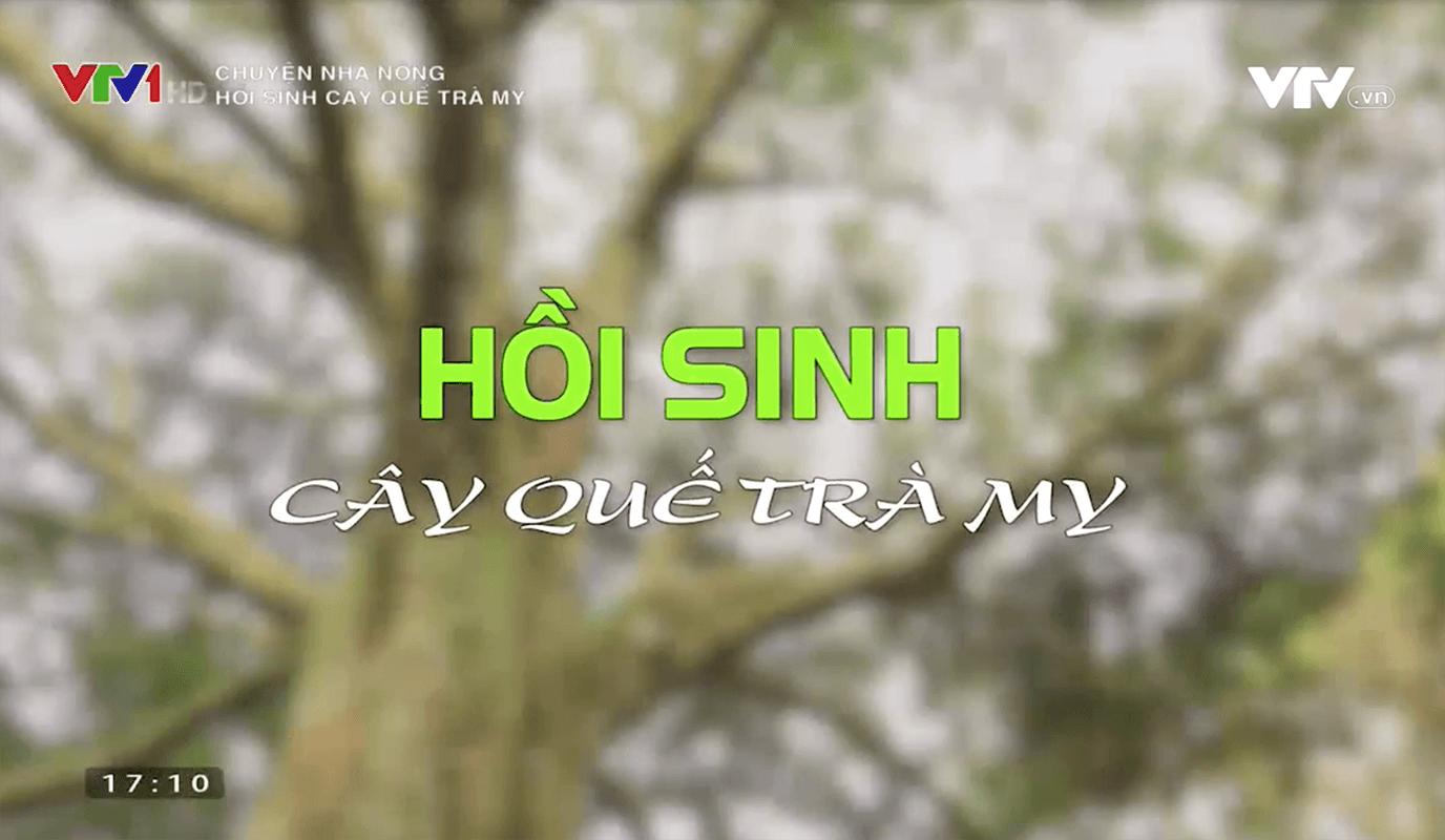 vtv1-hoi-sinh-cay-que-tra-my-quang-nam